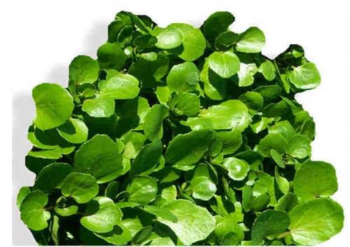 Agri�o: aumenta a imunidade e previne o c�ncer